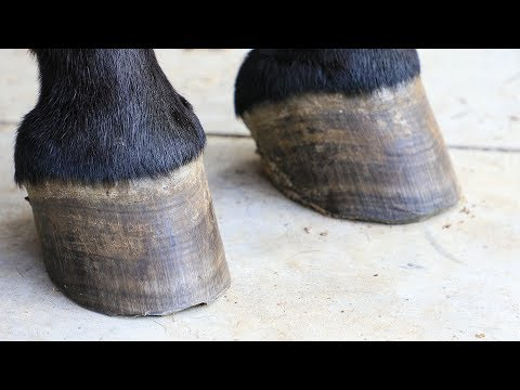 Trimming My Mule, Barefoot Hoof Trimming the Easy Way
