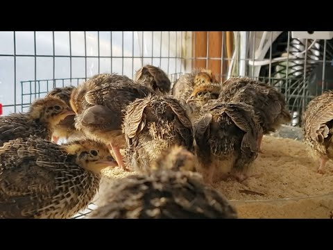 Baby Coturnix Quail Breakfast Time!