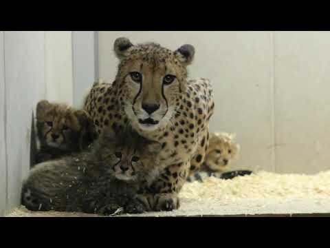 Gepardungar på Parken Zoo