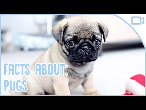 Facts About Pugs!
