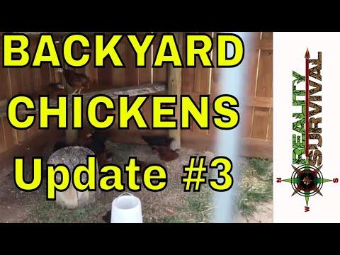 Raising Chickens Update 3 - Rhode Island Red & Australourp