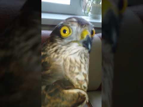 Ястреб залетел в квартиру. Ястреб охотился на голубя и разбился об окно / hawk crashed on the window