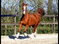Springpaard Betrouwbare allrounder / springpaard / dresuurpaard