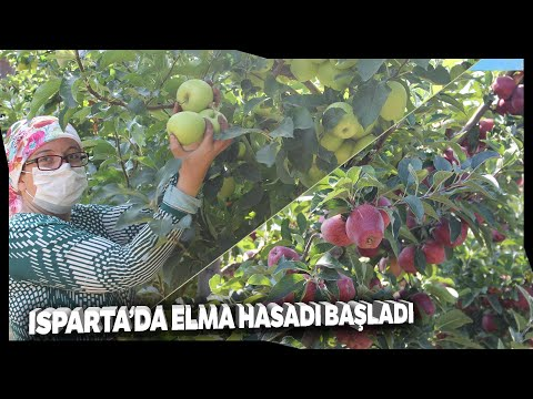 Türkiye'de Yetişen Her 4 Elmadan Biri Isparta'da Üretiliyor