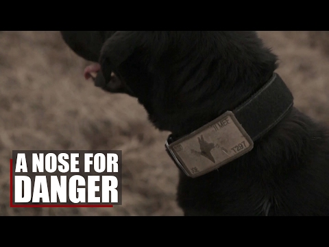 A Nose For Danger | K9's sniff out dangerous explosives