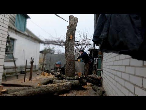 Как безопасно спилить дерево Огромное дерево в плотной застройке. Дрова для мангала, электро пила. photo