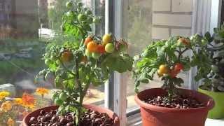 Огород на балконе? Томаты, земляника, укроп.
