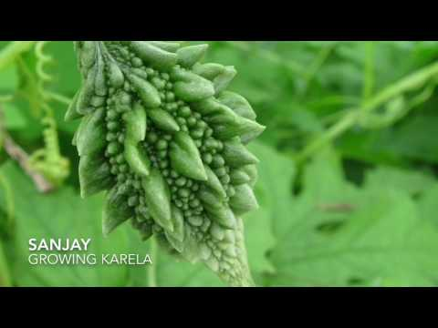 Growing karela in the UK