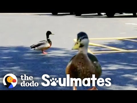 Watch This Wild Duck Bring His Girlfriend To Meet His Rescuer   The Dodo Soulmates
