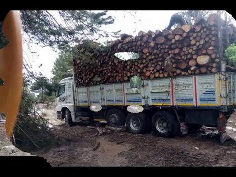 pine trees were