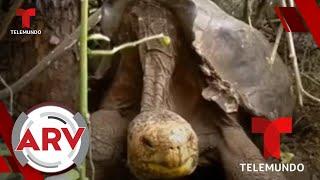 Tortuga gigante salva a su especie de la extinción   Al Rojo Vivo   Telemundo