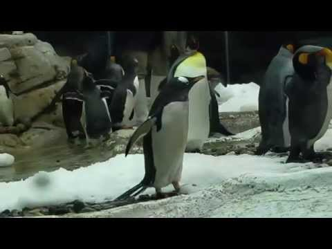 Video: Penguins -  Real Skipper Kowalski Private Rico