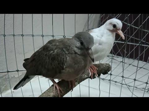 ฝึกลูกนกเขาใหญ่ให้กินอาหารเอง