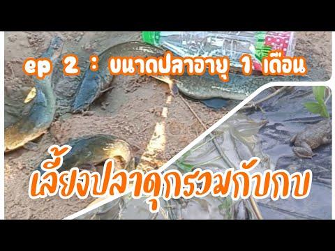 ep-2-:-เลี้ยงปลาดุกรวมกับกบ-อา
