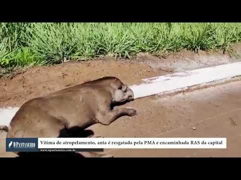 Vítima de atropelamento, anta é resgatada pela PMA e encaminhada ao CRAS da capital