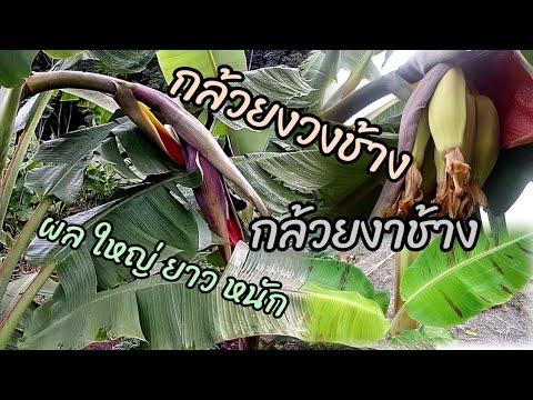 กล้วยงวงช้าง/กล้วยงาช้าง