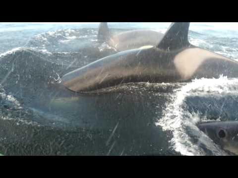 Killer whales Orcas at Twillingate, Newfoundland