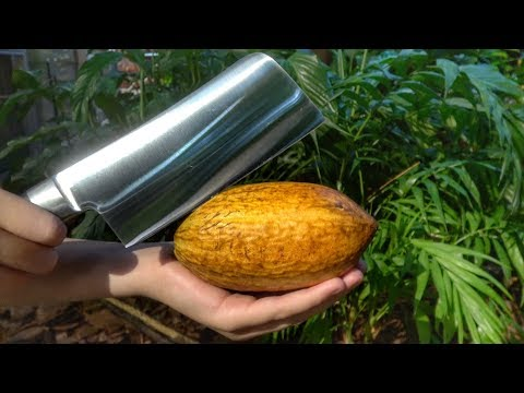 What's inside a Cocao Pod?