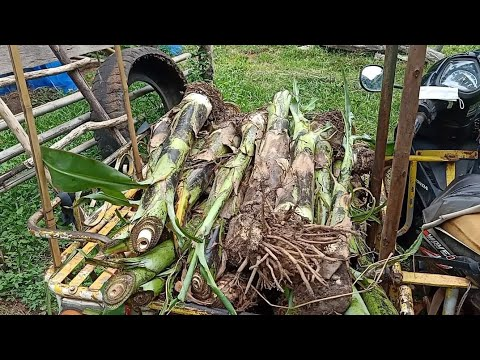 วิธีขุดแยกหน่อกล้วยหอมที่ถูกต้