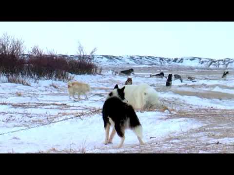 Polar Bears: A Summer Odyssey 2012 documentary movie play to watch stream online