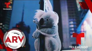 Koalas de peluche invaden las calles de Nueva York   Al Rojo Vivo   Telemundo
