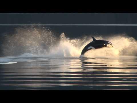 Killer Whales Up-Close in Alaska