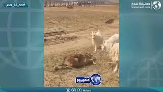 يامن شراله من حلاله عله