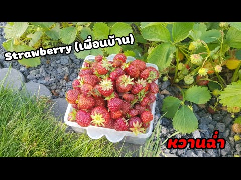 เก็บ-Erdbeere-(Strowberry)-เพื