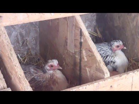 Le paysan du Mistouk 12 Laisser la poule couver ses oeufs il s'agira d'une incubation naturelle