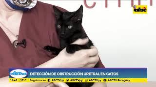 Cómo detectar una obstrucción uretral en tu gato