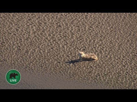 A lone wolf is spotted live on camera - Wild Alaska Live: Episode 1 - BBC One