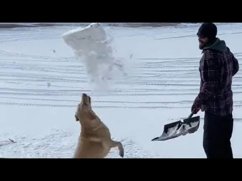 Dog Watches Snow Being Shovelled And Jumps To Catch It