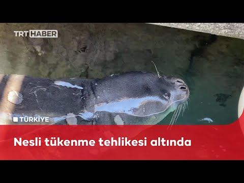 Akdeniz foku Kaş'ta görüldü