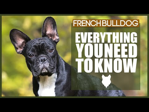 FRENCH BULLDOG 101! Everything You Need To Know