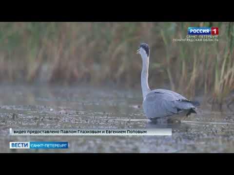 На севере Петербурга горожане заметили серых цапель