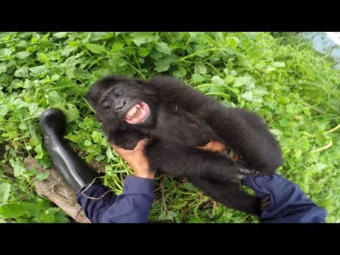 GoPro: Gorilla Tickling at the GRACE Center