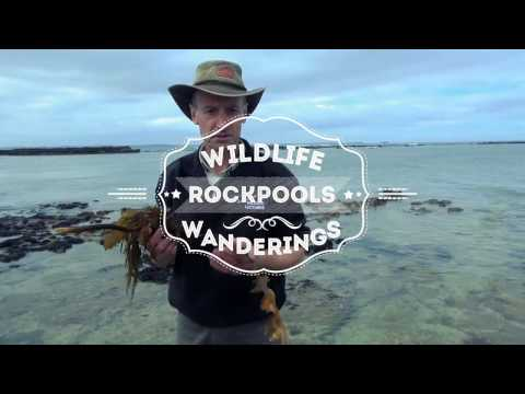Wildlife Wanderings - Rock pools Ep 8 -  Kelp & Blue Ringed Octopus