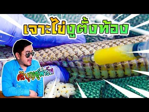 เทคนิคเพาะงู--ปัญหาไข่ค้าง-เบ่