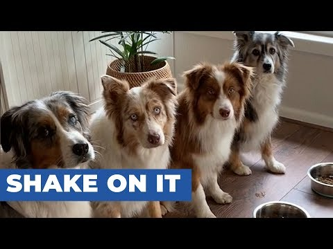 Four Dogs Shake Owner's Hand Before Eating