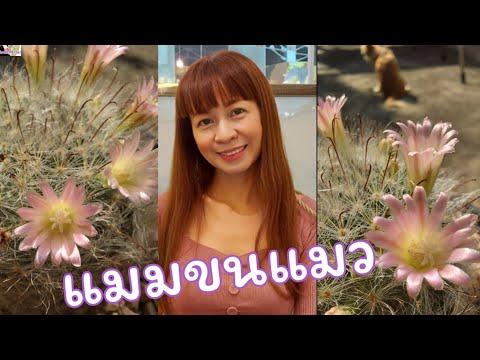 แมมขนแมว-หนามตะขอ-ออกดอกสีชมพู