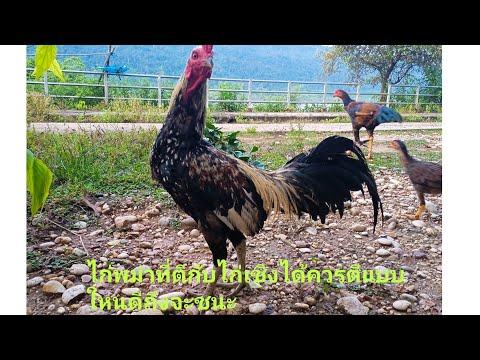 ไก่พม่าที่ตีกับไก่เชิงใด้และชน