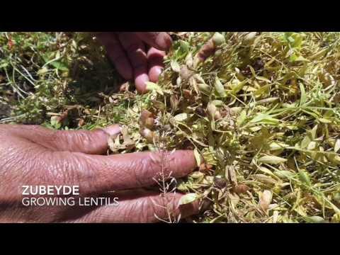 Growing lentils