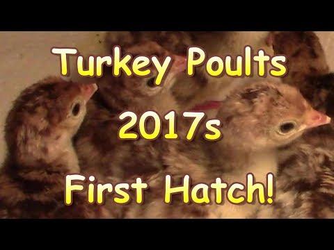 First Turkey Hatch of 2017
