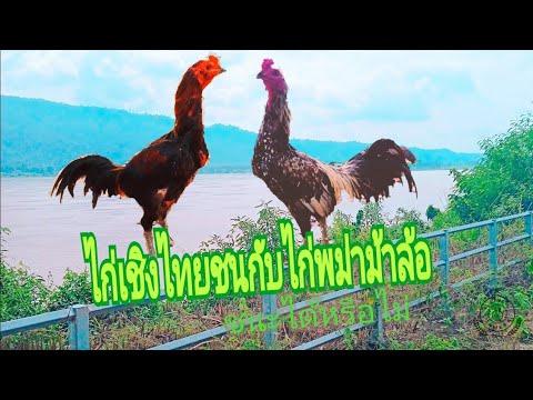 ไก่เชิงที่-ไปตีกับไก่พม่าม้าล้