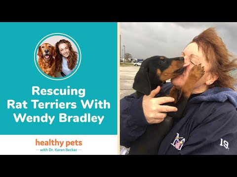 Rescuing Rat Terriers With Wendy Bradley