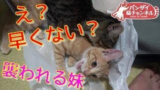 子猫 6ヶ月 発情期『子猫が発情期!?妹を襲う兄猫。生後5か月前なのに早くない?』などなど