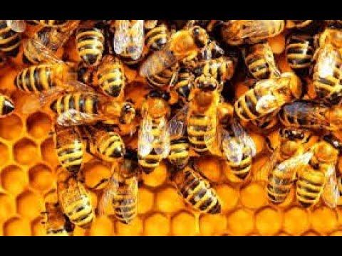 Calamity but bees