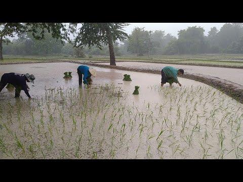 ชีวิตชาวนาดำนาตากฝนครั้งแรกของ