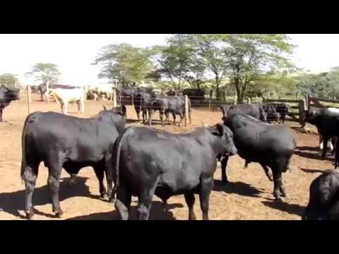 Filhos do touro Total - 12 meses de idade, peso médio 480kg (Aberdeen Angus)