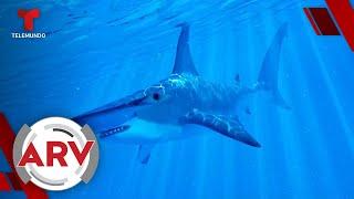 Encuentran tiburones vivos al interior de un volcán activo   Al Rojo Vivo   Telemundo